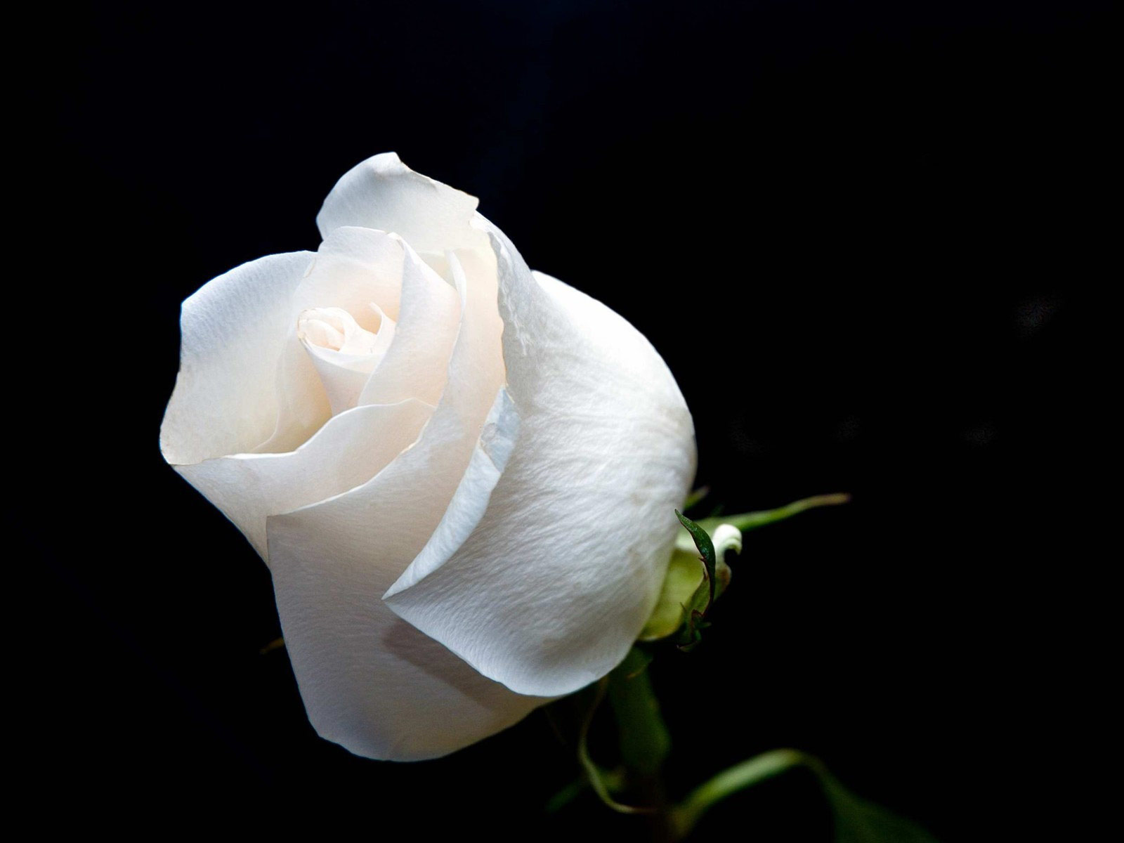 White Rose Meaning Friendship Comousar