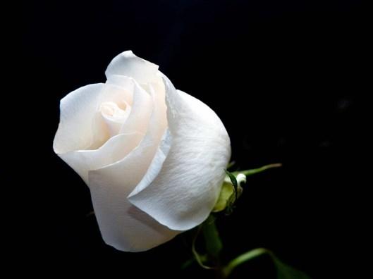 Gift_white_roses