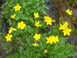 Ranunculus_lapaceus