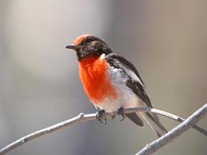 Red-capped_Robin-male