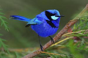 bluewren-male