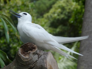 White Tern calling LHI 0212
