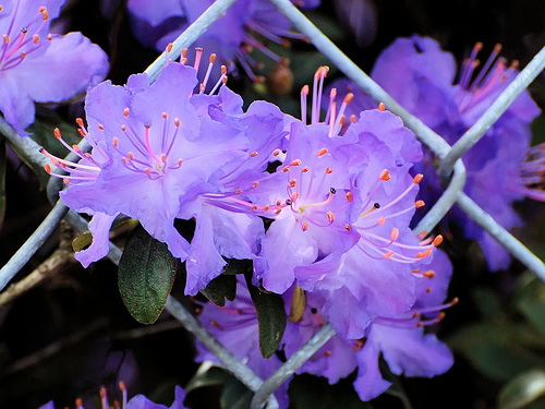 May-purpleazalea