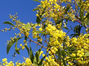 Floral Emblem Golden Wattle