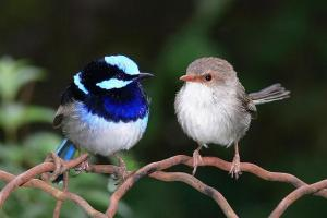 Male  female_blue fairy wren