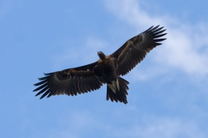 Wedge_tailed_eagle_in_flight04