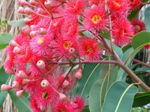 eucalyptus-summer-red