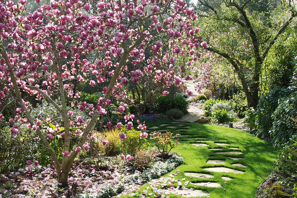 Magnolia alice and rose honeysett waltzing more than matilda for Magnolia tree