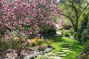 purple-magnolia-a-garden-feature