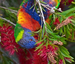 Rainbow_Lorikeet_at_Merimbula