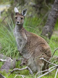 western-gray-kangaroo-macropus-fuliginosus-with-joey-in-pouch-yanchep-national-park-australia